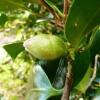 camellia-japonica-jupiter-bud1