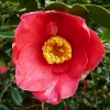 camellia-japonica-jupiter-flower1