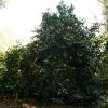 camellia-japonica-jupiter-plant1