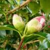 camellia-japonica-lady-kay-bud1