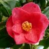 camellia-japonica-lady-kay-flower1