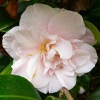 camellia-japonica-laurie-bray-flower1