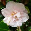 camellia-japonica-laurie-bray-flower2