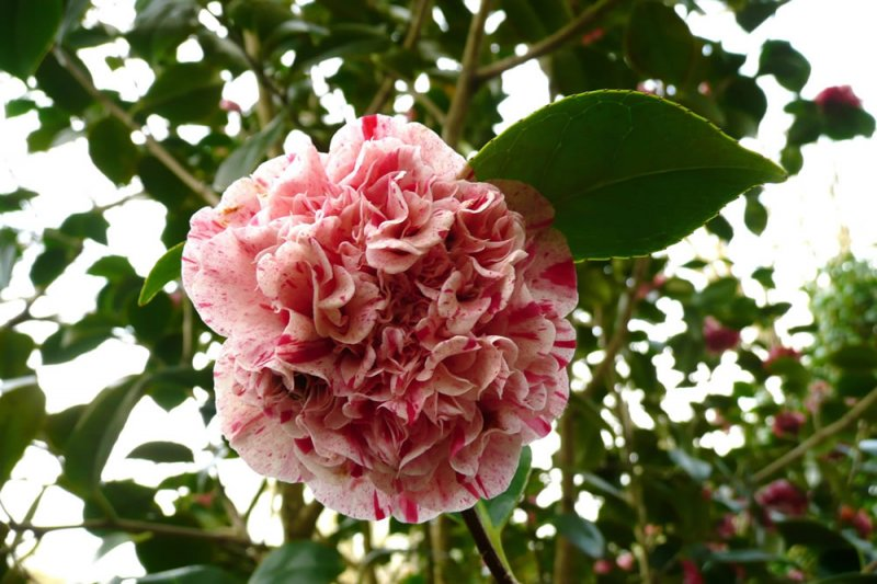 camellia japonica little bit plants oak leaf gardening. Black Bedroom Furniture Sets. Home Design Ideas