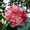 camellia-japonica-little-bit-flower1