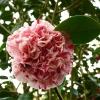 camellia-japonica-little-bit-flower2