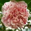 camellia-japonica-little-bit-flower3