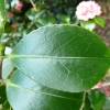 camellia-japonica-little-bit-leaf1