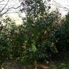 camellia-japonica-little-bit-plant1