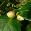 camellia-japonica-maculata-superba-bud1