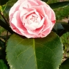 camellia-japonica-maculata-superba-flower2