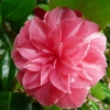 camellia-japonica-mme-haas-flower1