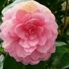 camellia-japonica-marguerite-gouillon-rose-flower1