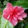 camellia-japonica-marianna-gaeta-flower1
