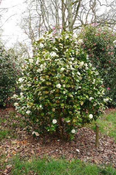 White camellia plant images galleries - Camelia planta ...