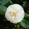 camellia-japonica-moshe-dayan-flower1