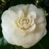 camellia-japonica-moshe-dayan-flower2