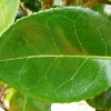 camellia-japonica-moshe-dayan-leaf1