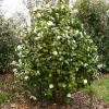 camellia-japonica-moshe-dayan-plant1