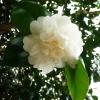 camellia-japonica-nobilissima-detail3