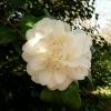 camellia-japonica-nobilissima-flower1