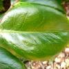 camellia-japonica-nobilissima-leaf1