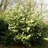 camellia-japonica-nobilissima-plant1