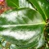 camellia-japonica-odoratissima-leaf1