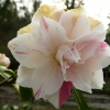camellia-japonica-paul-jones-supreme-flower1