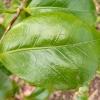 camellia-japonica-rosa-perfecta-leaf1