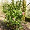 camellia-japonica-rubens-plant1