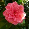 camellia-japonica-rubescens-major-flower1