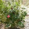 camellia-japonica-rubescens-major