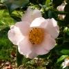 camellia-japonica-spencers-pink-flower1
