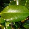 camellia-japonica-spencers-pink-leaf1