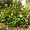 camellia-japonica-spencers-pink-plant1