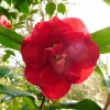 camellia-japonica-trebah-gardens-flower1