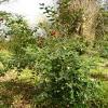 camellia-japonica-trebah-gardens-plant1