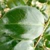 camellia-japonica-virginia-carlyon-leaf1