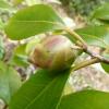 camellia-japonica-waiwhetu-beauty-bud1