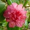 camellia-japonica-waiwhetu-beauty-flower1