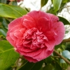 camellia-japonica-waiwhetu-beauty-flower2