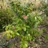 camellia-japonica-waiwhetu-beauty-plant1