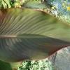 canna-indica-leaf1