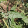 capsid-bug-damage-buddleja-2