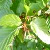 carpinus-betulus-bud1