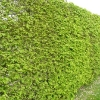 carpinus-betulus-hedge