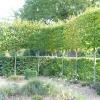 carpinus-betulus-plant1