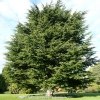 cedrus-libani-plant1