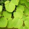 cercidiphyllum-japonicum-leaf1